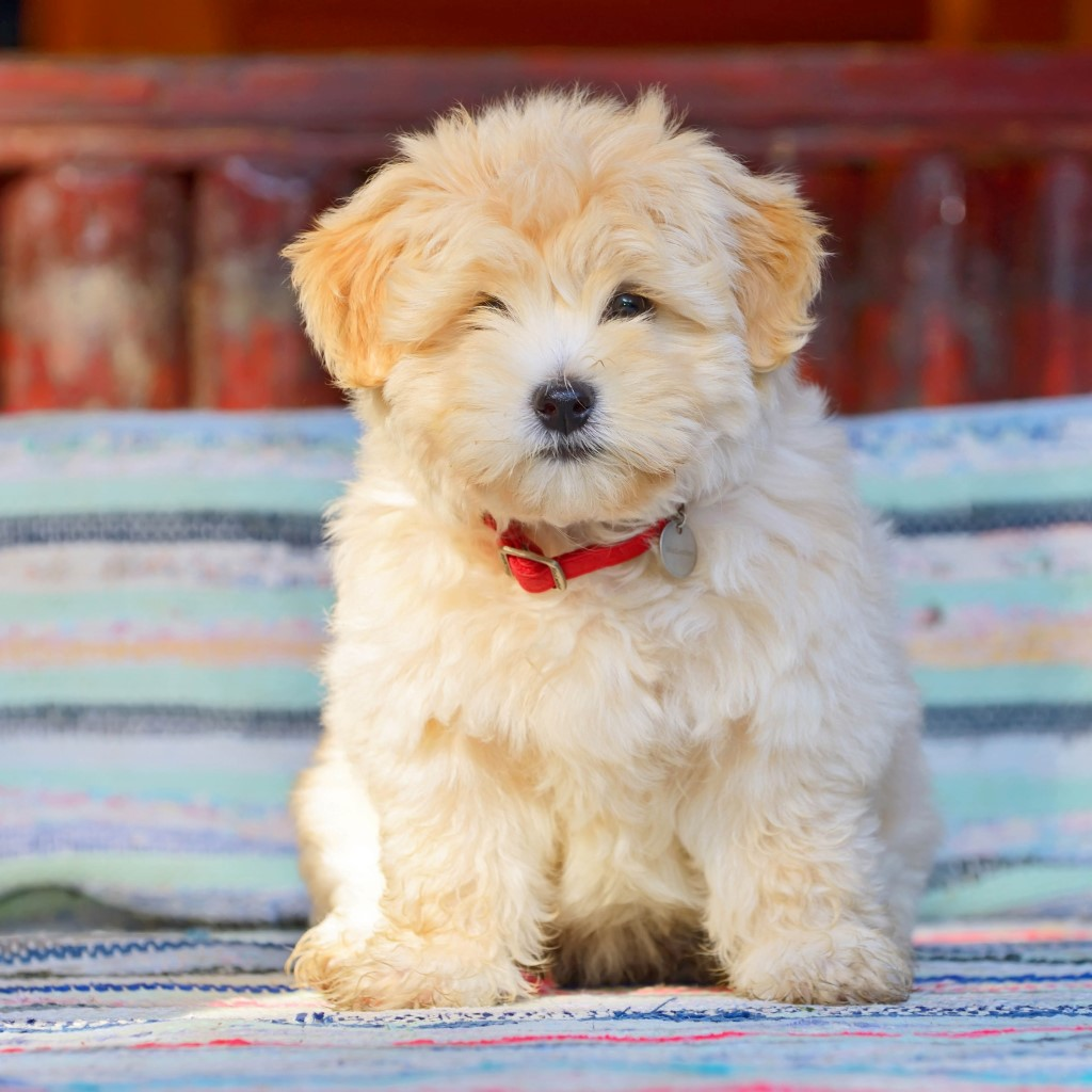 Havanese Puppies For Sale Lone Star Texas